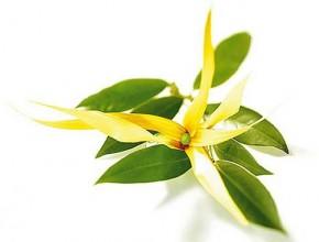 Состав вытяжки из цветков иланг-иланг?