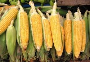 Действие масла кукурузы